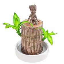 巴西木盆栽水培植物  券后9.9元