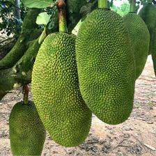 鲜指南 海南黄肉菠萝蜜 20-25斤 单个装 54.9元包邮(双重优惠)